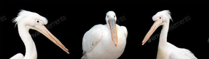 Pelican portrait on black background