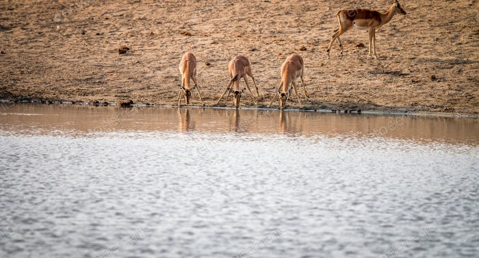 Three drinking Impalas.