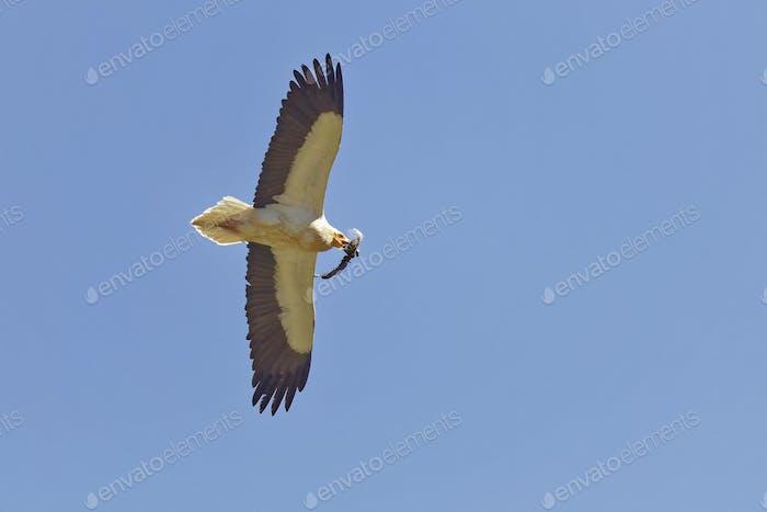Schmutzgeier, Neophron percnopterus, Egyptian Vulture