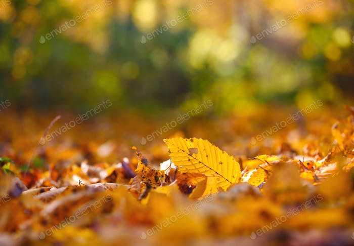 Beautiful autumn background with leaves and sun rays