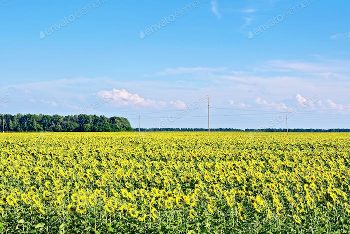 Field with sunflowers and blue sky