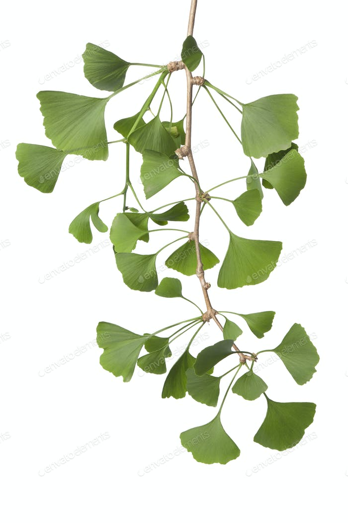 Twig of Ginkgo biloba leaves