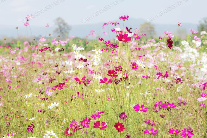 Cosmos flowers with daylight
