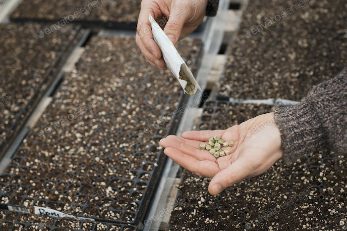 Spring growth in an organic plant nursery. A person holding seed in the palm of his hand.