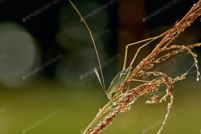 The bush cricket on the grass