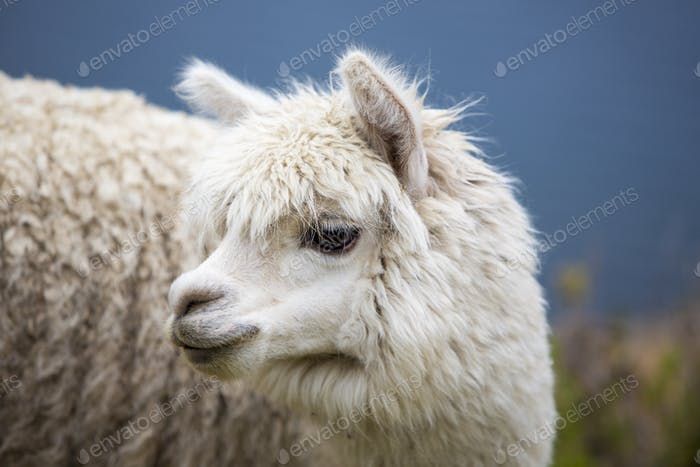 Portrait of beautiful baby Llama, Bolivia