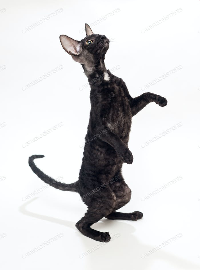 Black cat Cornish Rex