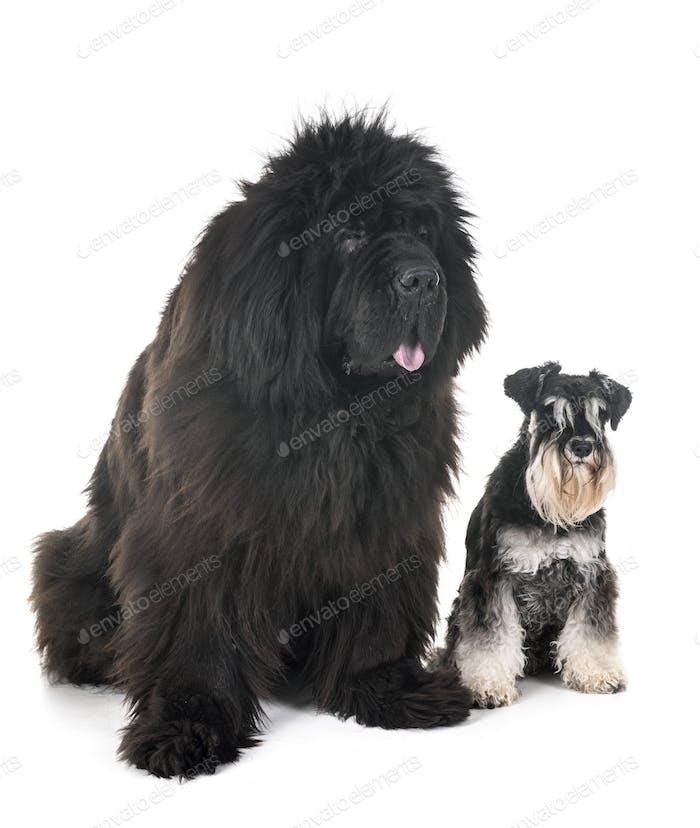 newfoundland dog and schnauzer