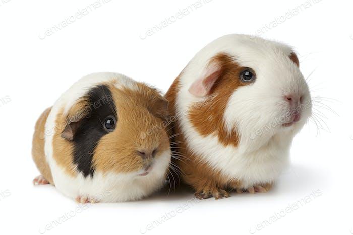 Zwei süße Meerschweinchen
