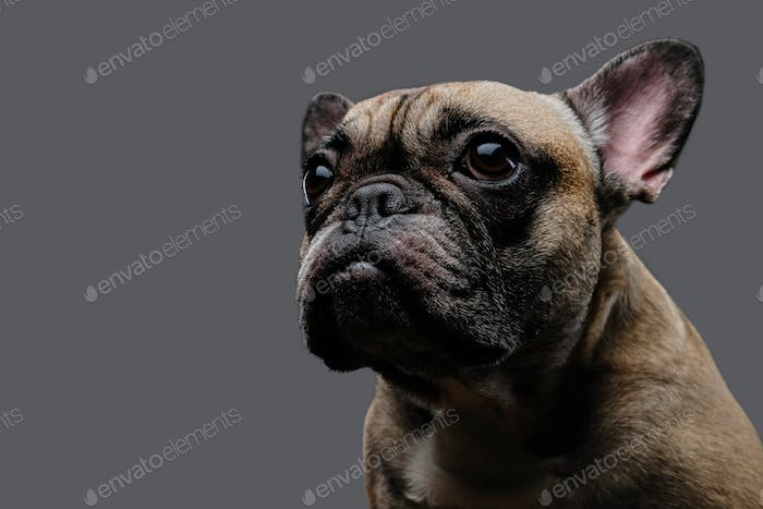 Close-up photo of a sad pug on a gray background.