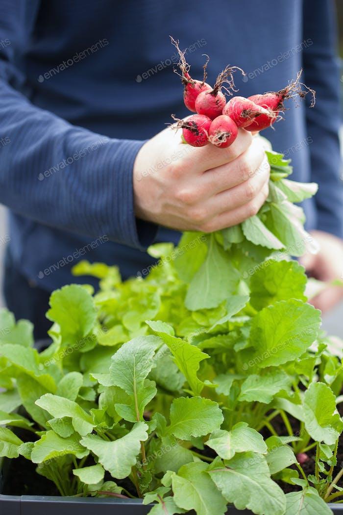 man gardener picking radish from vegetable container garden on b