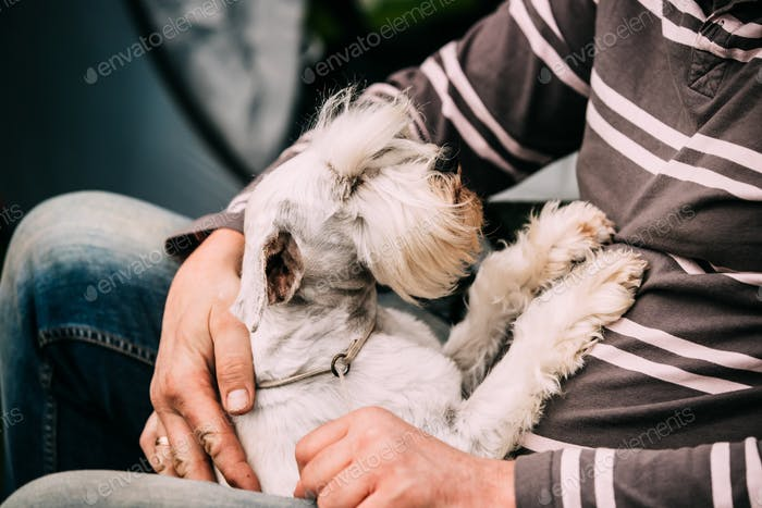 Small Miniature Schnauzer Dog Zwergschnauzer Sitting In Hands Of