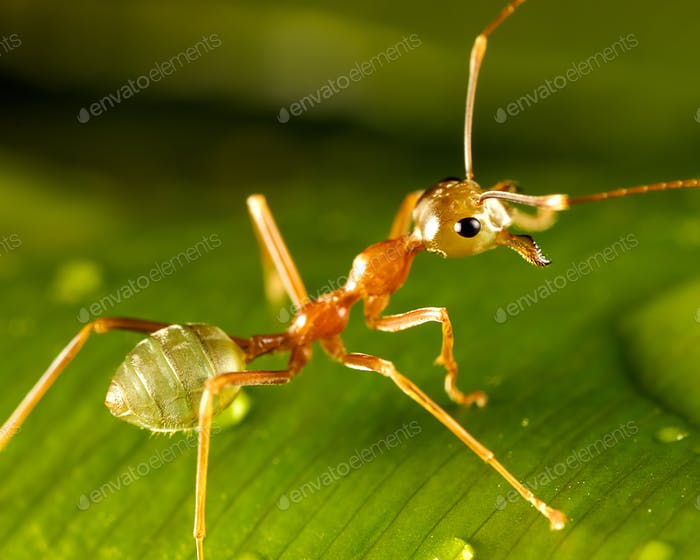 Green ant