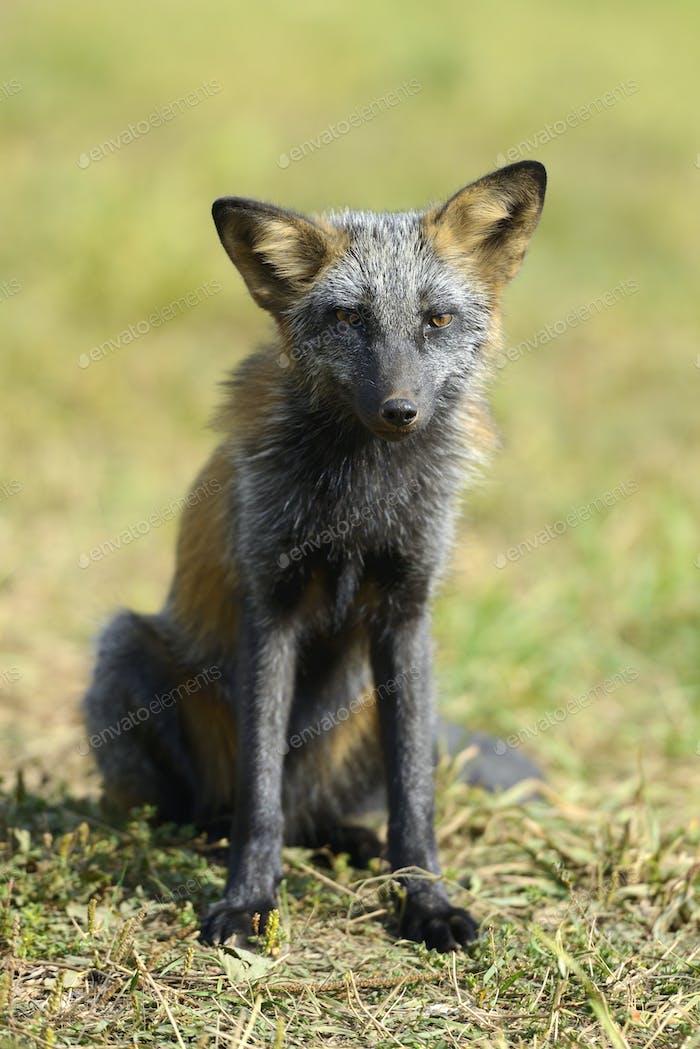 Close Silver Fox