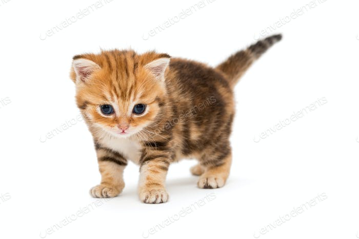 Small striped kitten breed British marble