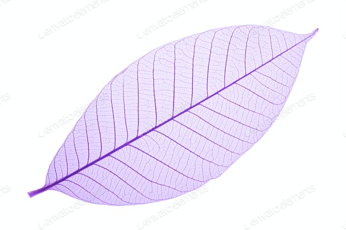 Purple decorative skeleton leaf on white