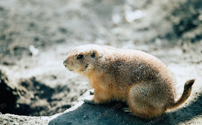 Beautiful prarie dog alert and waiting