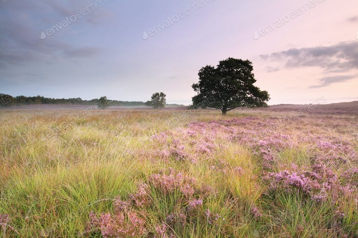 pink flowering heather on meadow