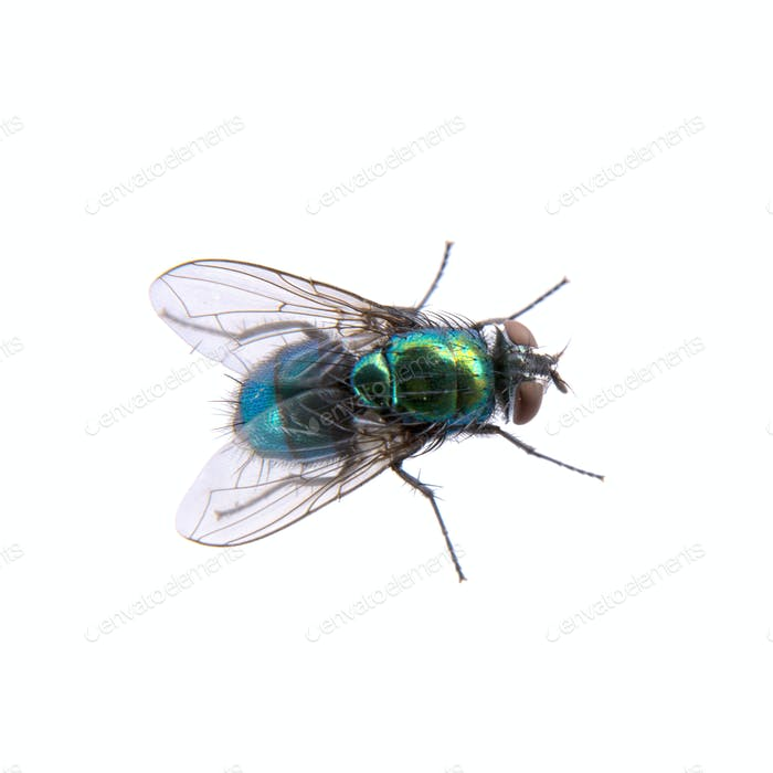 Green fly on a black background