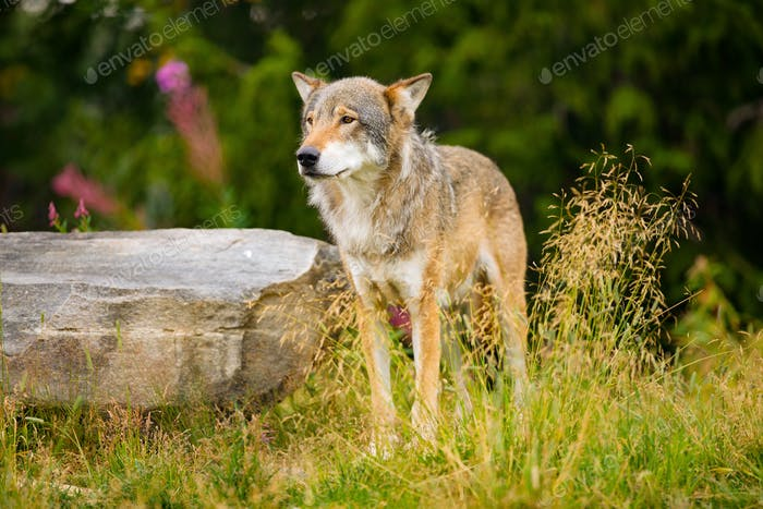 Wolf Standing On Field By Rock In Forest