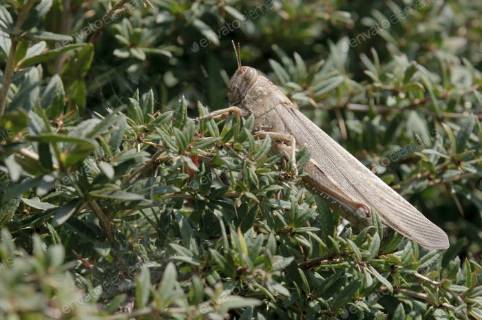Brown Locust