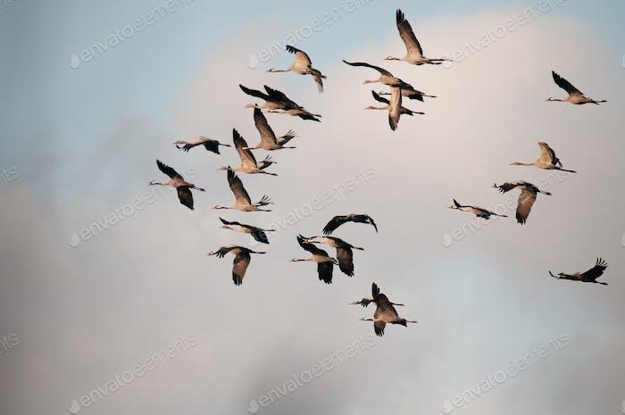 Autumn, a flock of cranes ( Grus grus) in flight.Horizontal.