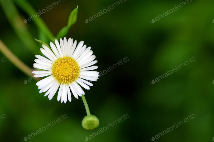 Daisy flower on green background