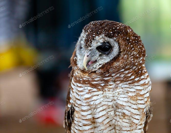 Portrait of a tawny owl, strix aluco.