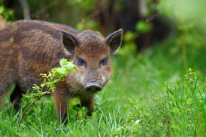 Wild boar in forest