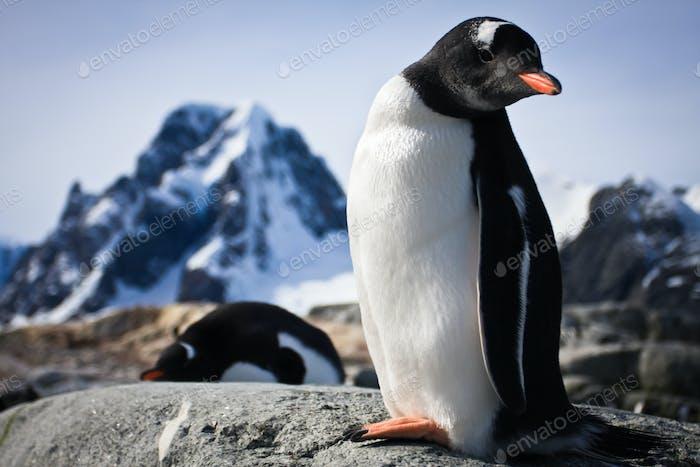 Pinguin steht auf den Felsen