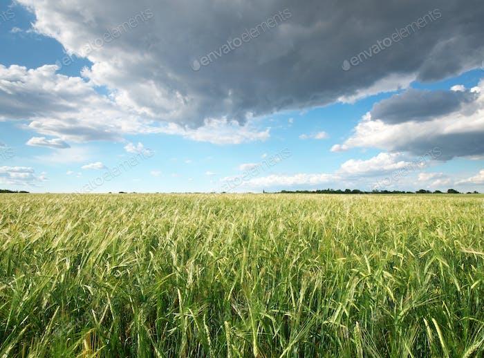 Weizenwiese.