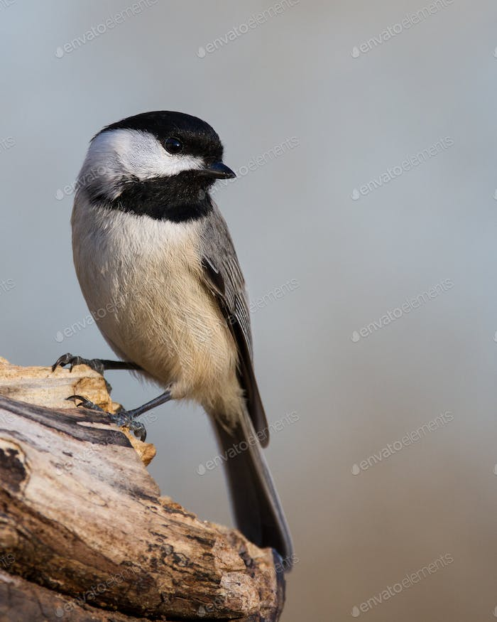 Carolina Chickadee Perched