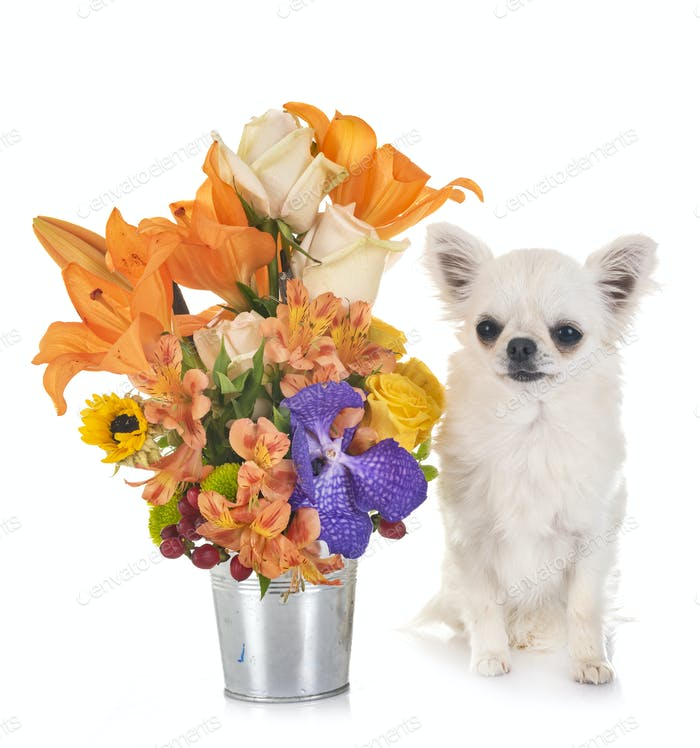 chihuahua and flowers
