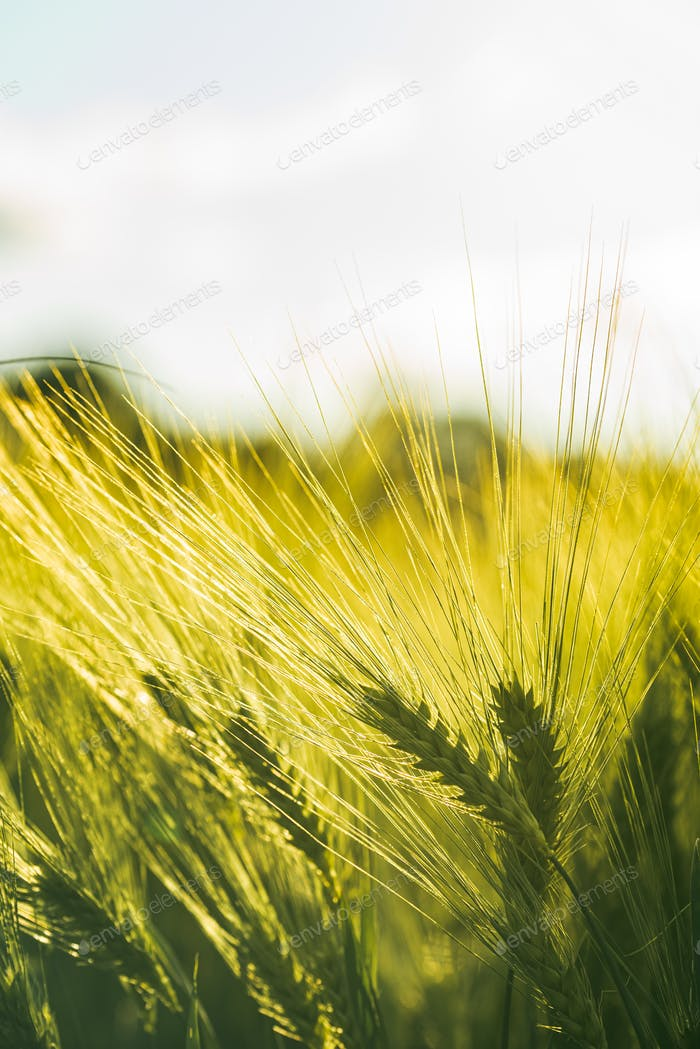 Green wheat on the field in spring. Selective focus, shallow DOF background.