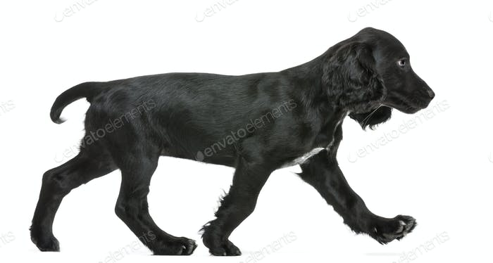 Side view of Working Cocker Spaniel walking against white background