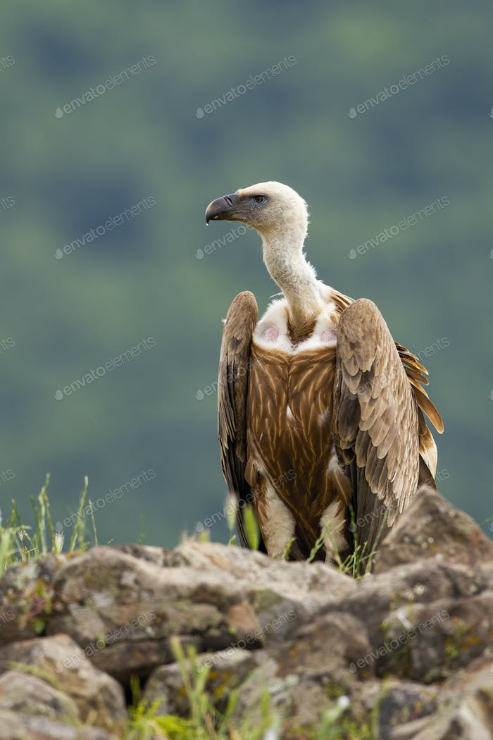 Alert griffon vulture sitting on a rocky horizon in summer mountains