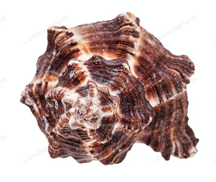 helix dark brown seashell of mollusk isolated