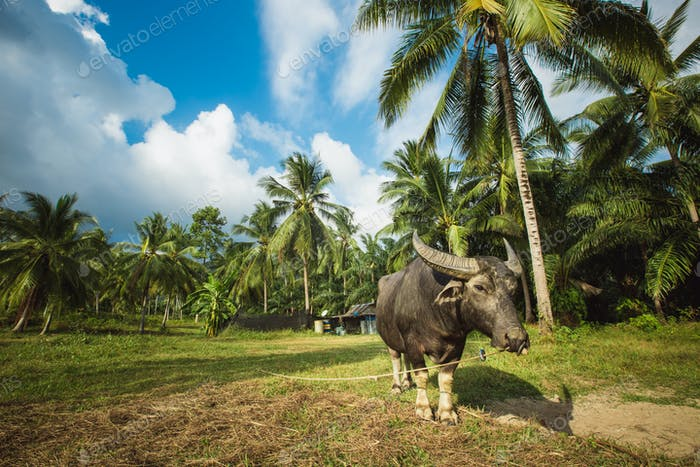 Buffaloes in a field of grass