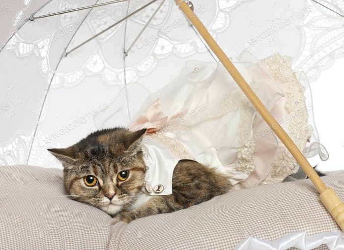 Persian cat, 1 year old, lying under parasol