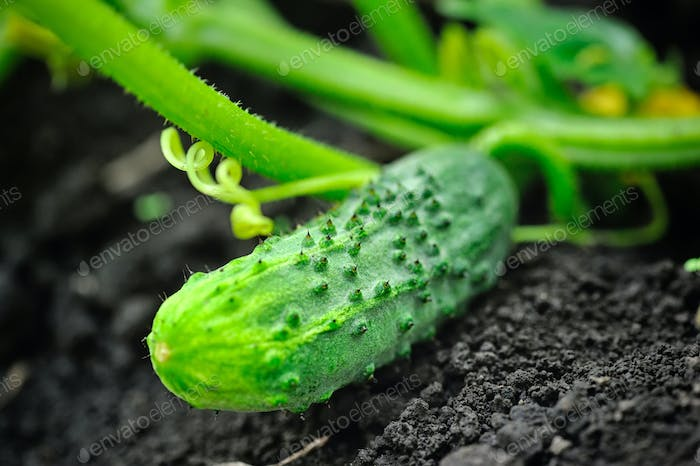 Growing cucumber in the garden