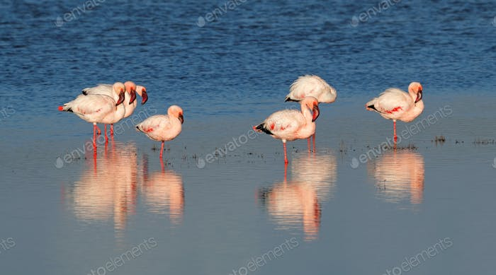 Greater flamingos in water
