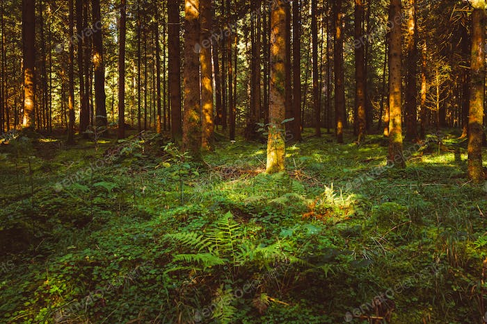 Autumn Forest with floor covered with moss