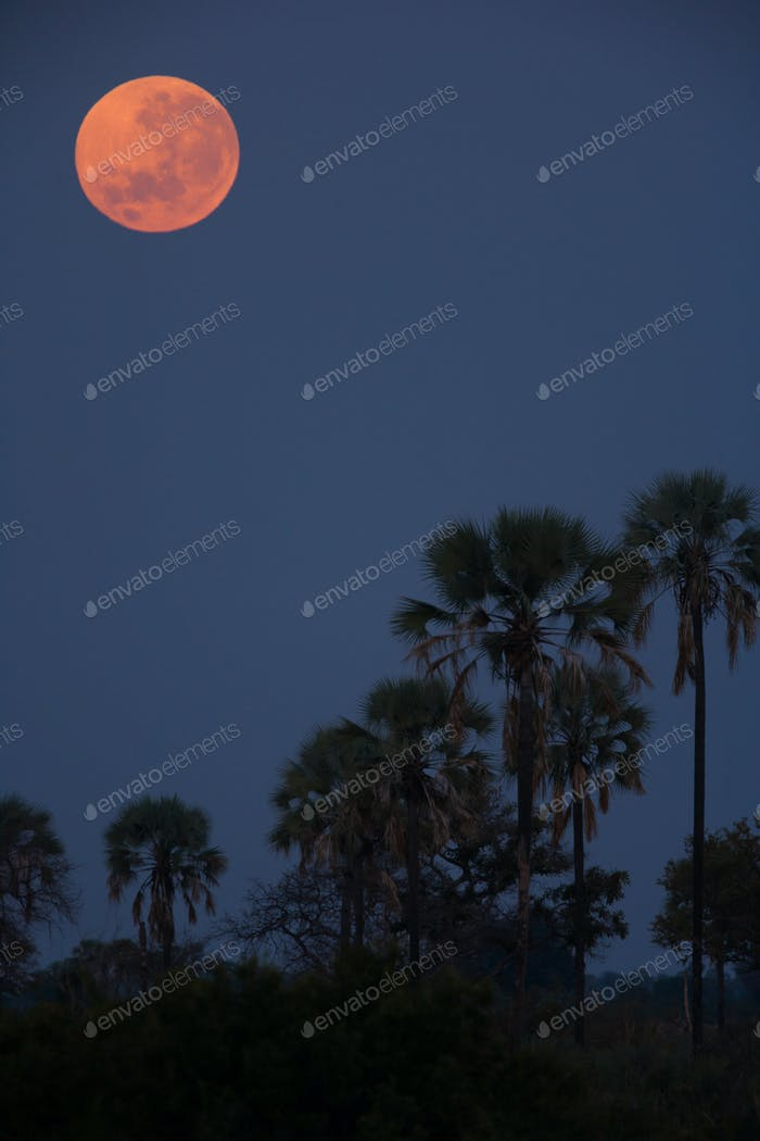 Moon over palms, Botswana
