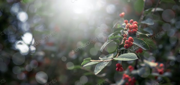 Autumn natural background with red berries and dark green foliage, fall landscape