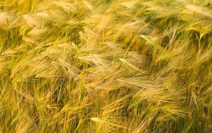 Ripening ears of yellow wheat field.