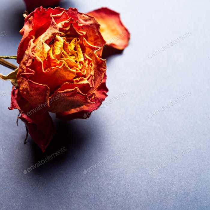 Dried orange roses, bunch of beautiful faded flowers