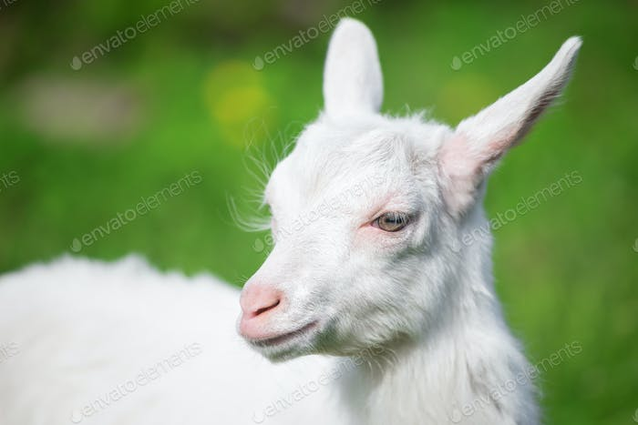 White small goat