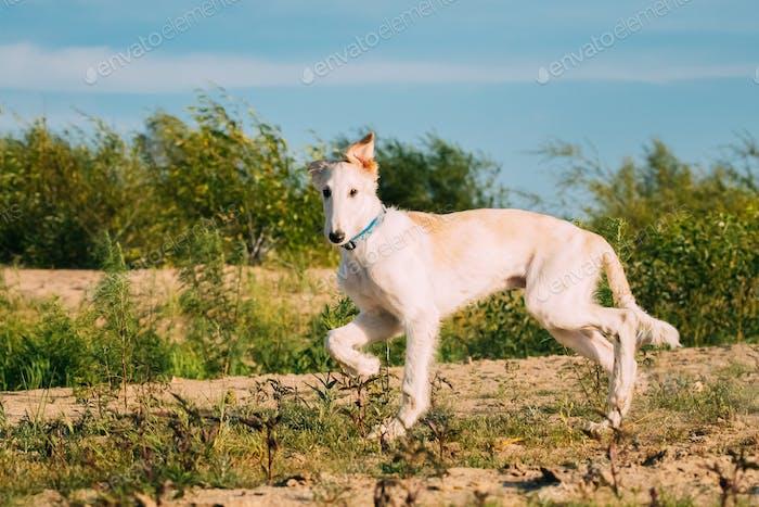 Running Puppy Of Russian Wolfhound Hunting Sighthound Russkaya P