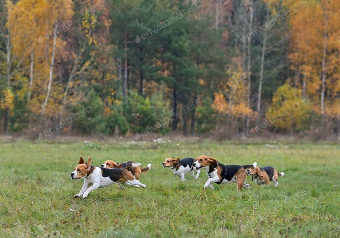 Running happy beagles