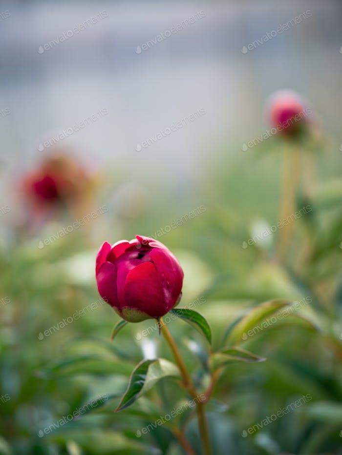 Unopened red purple peony in garden